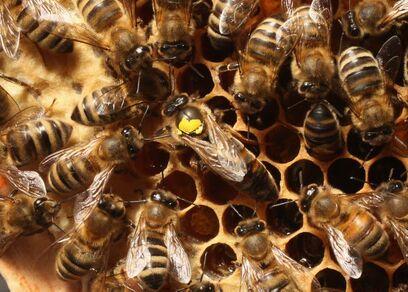 Des abeilles ouvrières entourent une reine