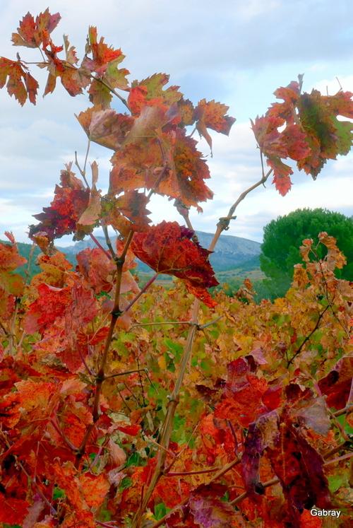 Couleurs d'automne: feuilles de vigne!