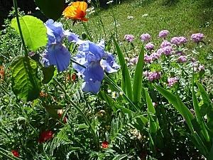 Iris bleu soutenu