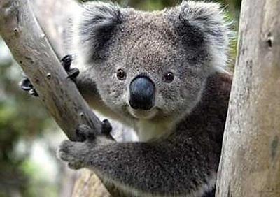 Mini Box Koala