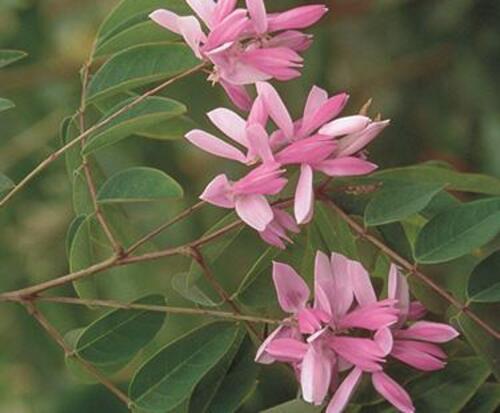 Fleurs cultivées : Indigotier