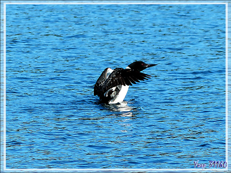 Plongeon huard ou Imbrin ou Huard à collier, Great Northern Loon (Gavia immer) - Lac Venne - Duhamel - Outaouais - Québec - Canada