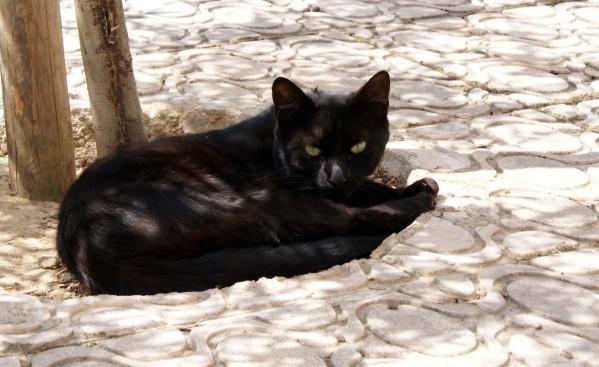 Chat noir Trèbes 12655