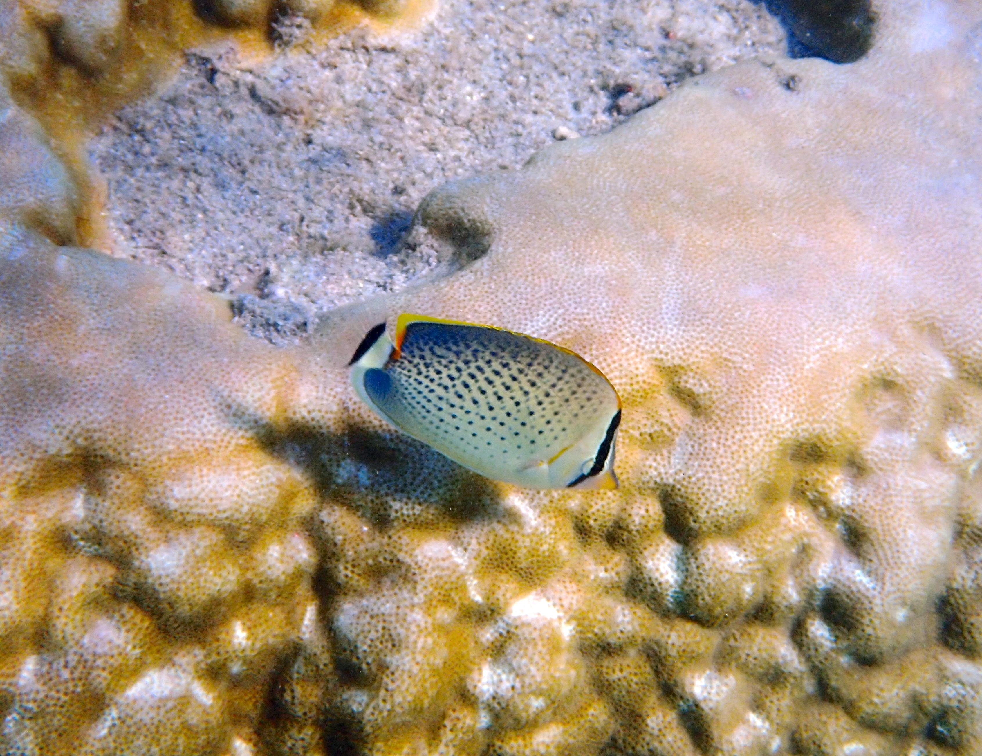 poisson papillon moucheté