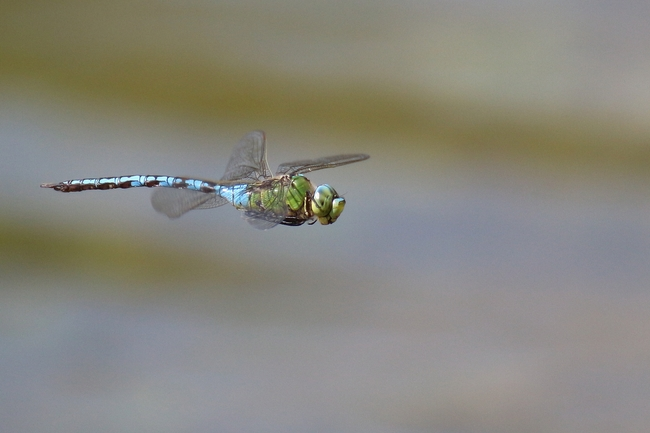 Anax empereur, Anax imperator