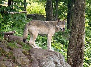 Parc Omega loup gris