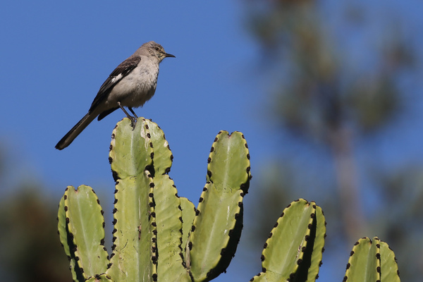 Catalina Island - Northern Mockingbird