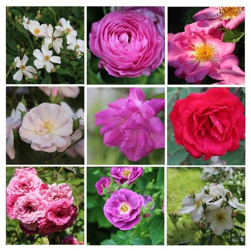 Abécédaire des roses du jardin