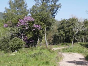 Les arbres de Judée sont en fleurs