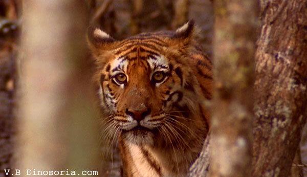 Tigre du Bengale à l'affût