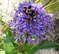scilla peruviana (jacinthe du Pérou)
