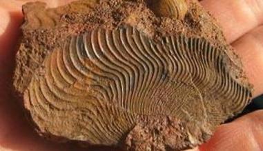 Emprunte fossile face