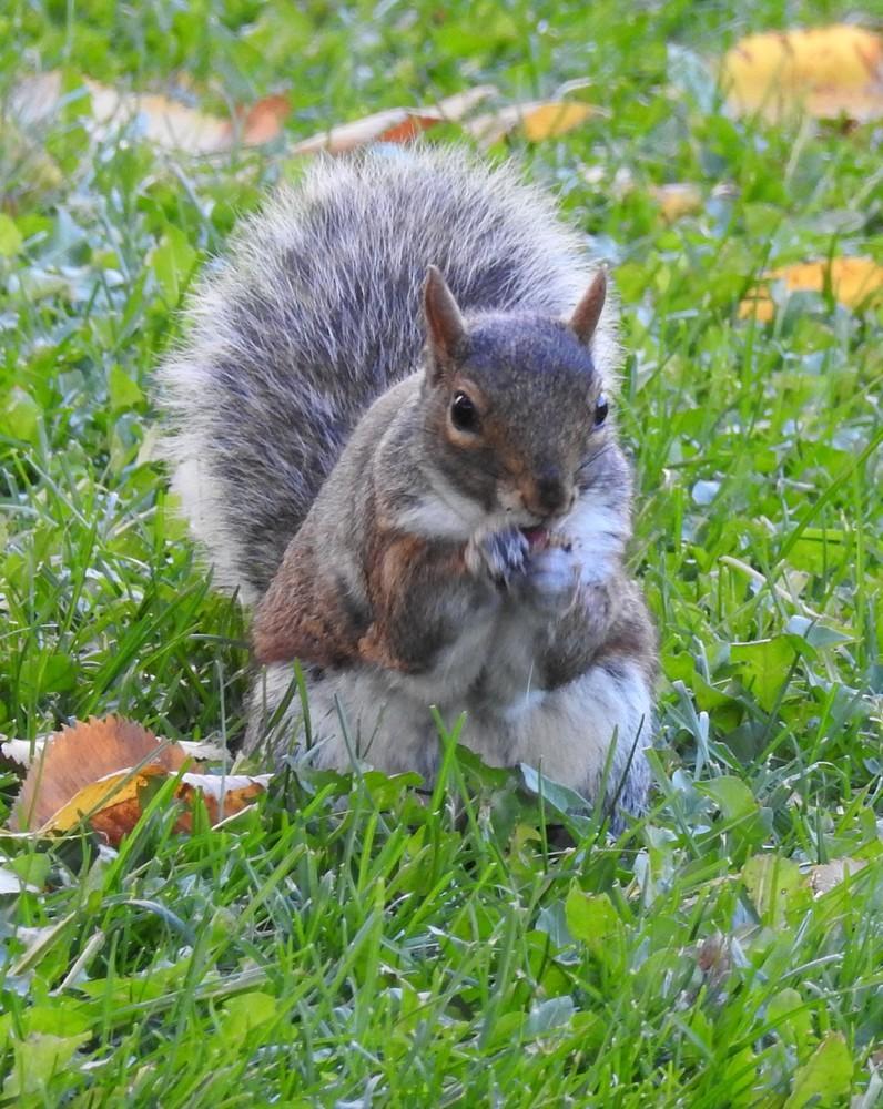 Les écureuils de Montréal (2/2)...