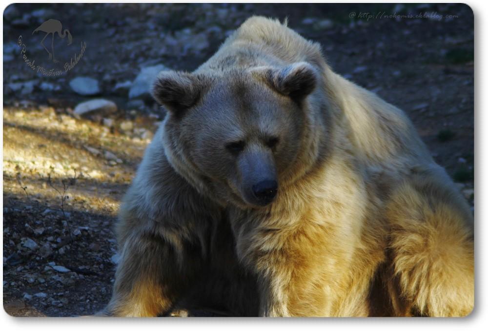 Ours de Sibérie...