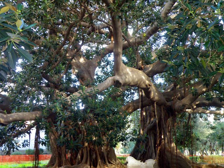 les arbres des géants