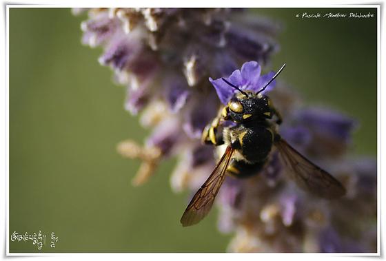 Anthidium ♀ (Apoidae)