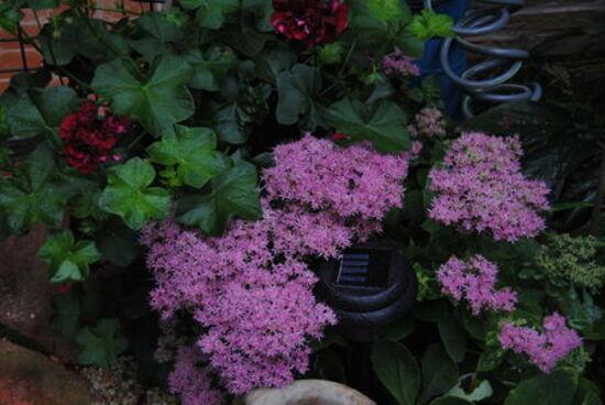 """plante grasse """" de l'orpin rose """" derrière ,un géranium pourpre à feuilles dures """" en aout 2012"""