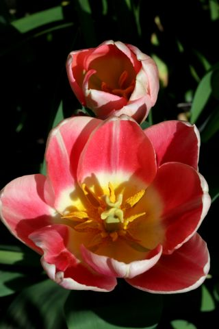 Tulipes 2018 : Apricot Delight