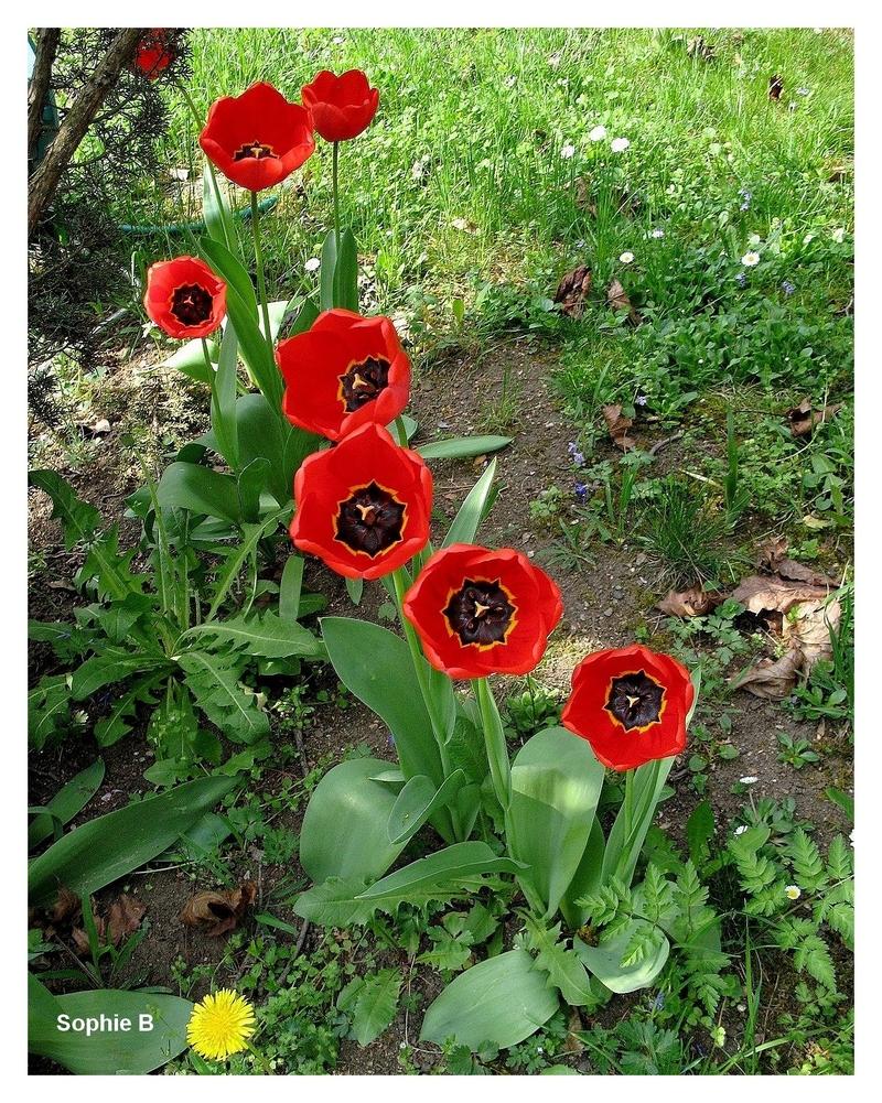 Le tulipes .