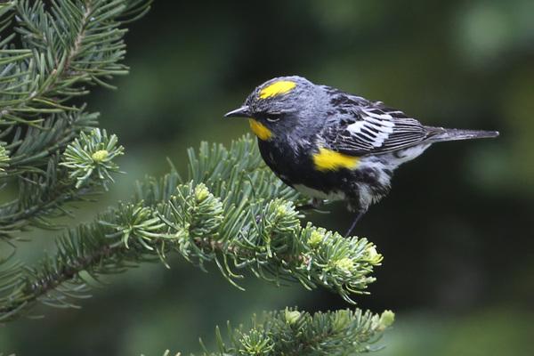 Audubon Warbler, Mount Rainier