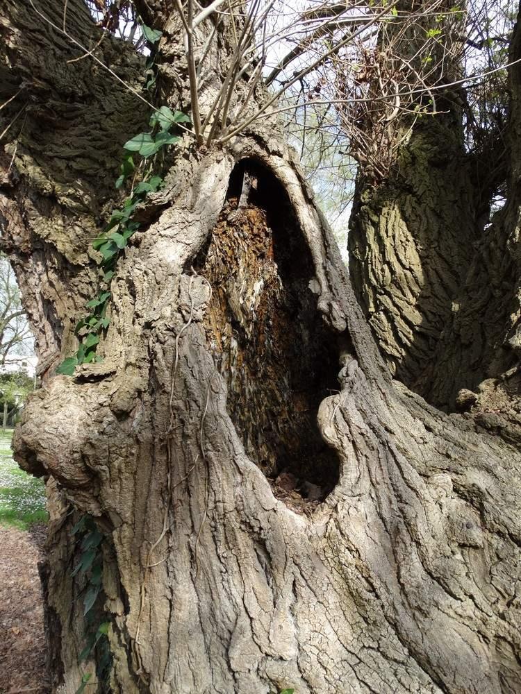 Un arbre remarquable : le peuplier noir de Chante Grillon...