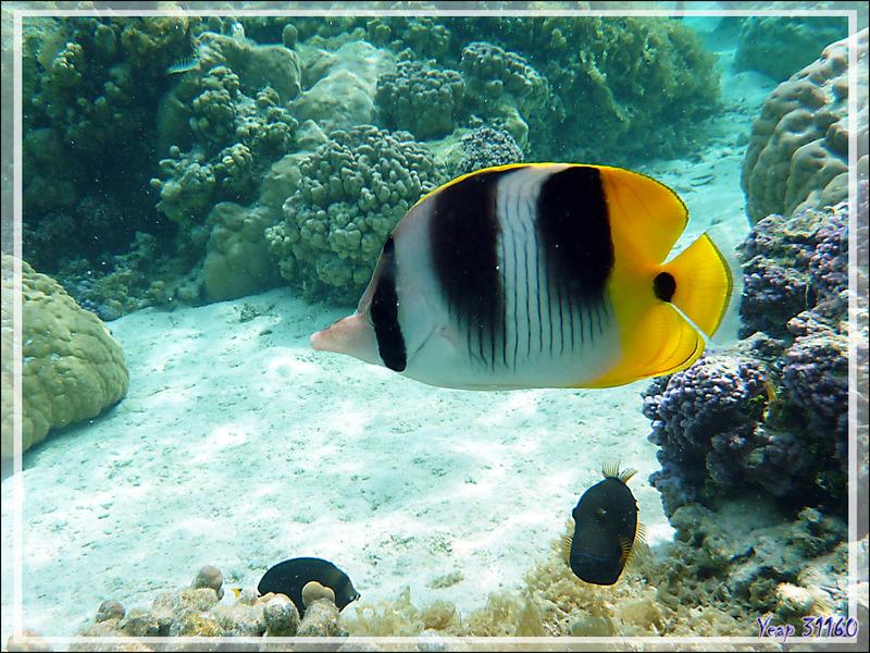 Poisson-papillon à deux selles du Pacifique, Chaetodon d'Ulietéa à double selles, Pacific double-saddle butterflyfish (Chaetodon ulietensis) - Jardin de corail - Motu Tautau - Taha'a - Polynésie