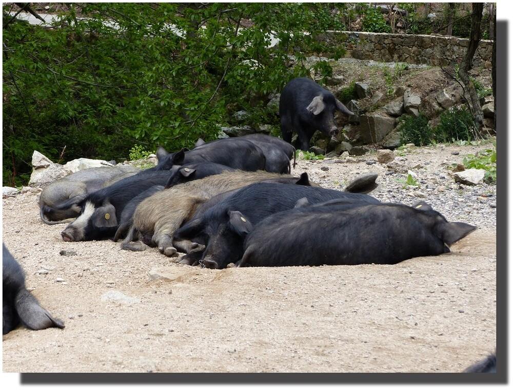 têtes à queues, et les porcs seront bien rangés