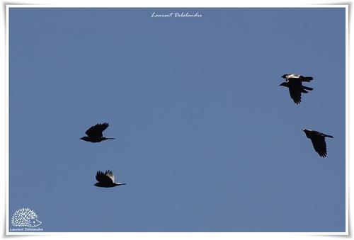 Choucas des tours - Coloeus monedula - Western Jackdaw