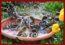 La baignade des oiseaux