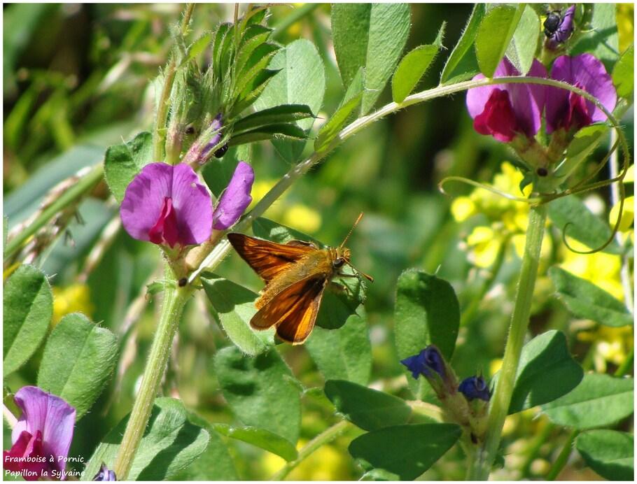 Papillon la Sylvaine