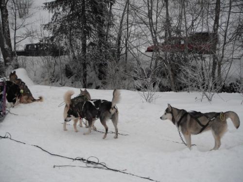 Les chiens de traîneau (CM1/8)