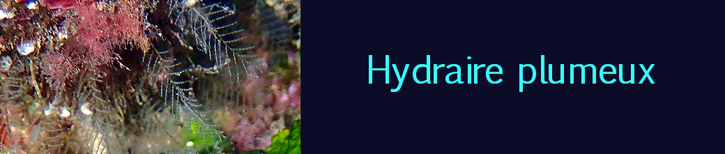 hydraire plumeux