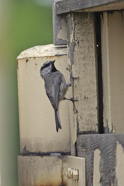 Grands et petits oiseaux du Montana