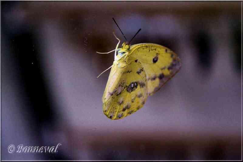 Papillons tropicaux Phoebis sennae Pieridae Coliadinae