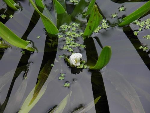 floraison aloe vera mare