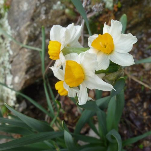 Narcisse à bouquets