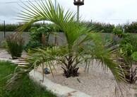 Butia Eriospatha (butia laineux)