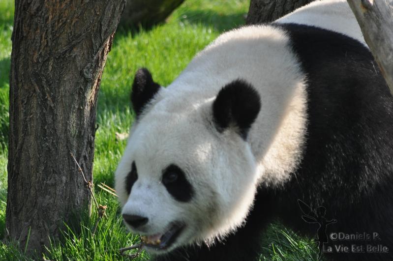 légendes du panda