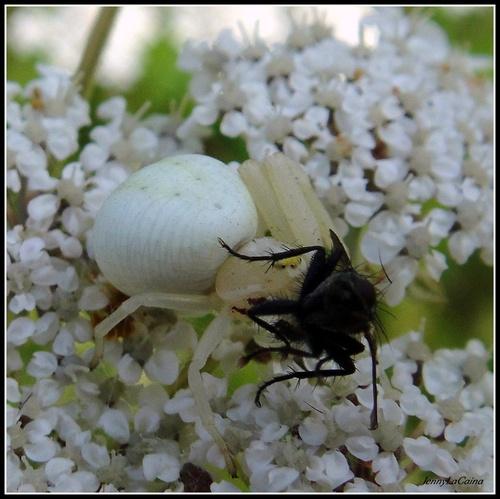 """Festin d'une araignée """"Thomise blanc"""""""