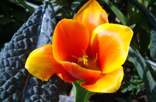 Belle tulipe.