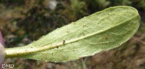 Bellis sylvestris - pâquerette des bois