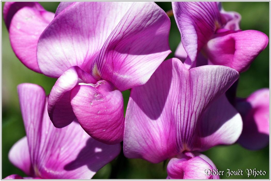 Gesse des Bois / Lathyrus sylvestris