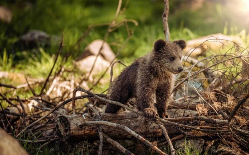 L'ourson orphelin sauvé dans les Pyrénées est mortL'ourson orphelin sauvé dans les Pyrénées est mort
