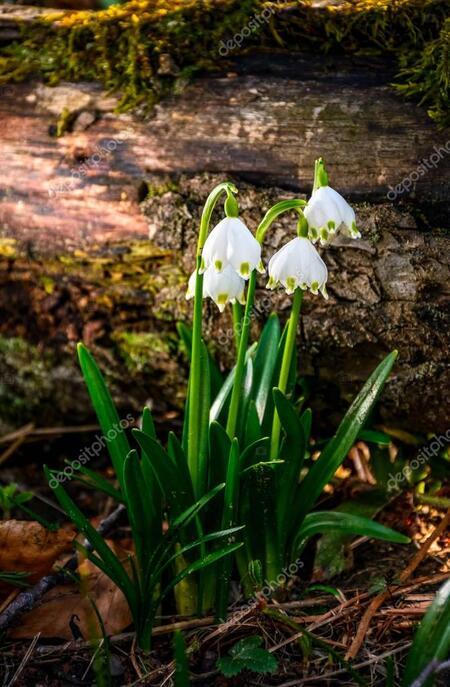 premiéres fleurs du printemps
