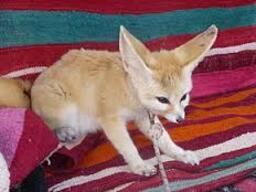 Le Fennec, ou renard des sables