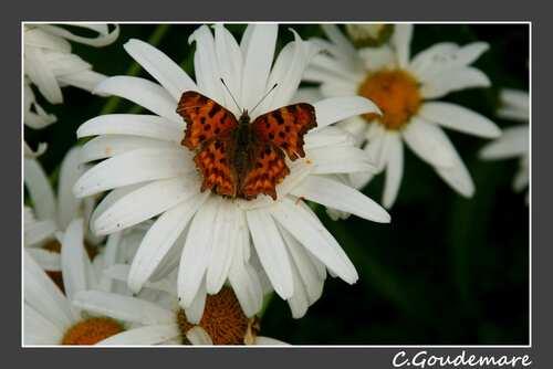 Papillon # 2