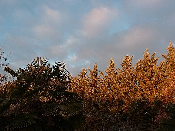 Palmier sapins le jour se leve