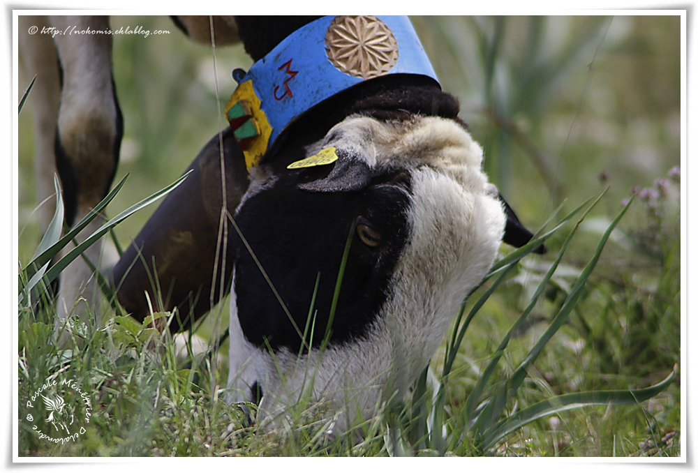 Mouton Caussenarde des garrigues bi-colores