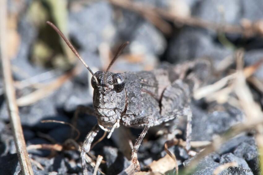Criquet Oedipoda germanica