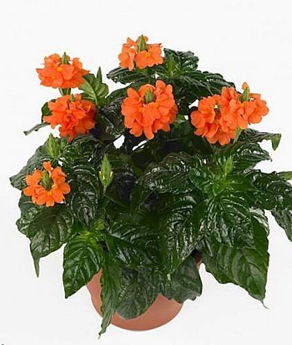 plantes int rieur petites fleurs roses id e d 39 image de fleur. Black Bedroom Furniture Sets. Home Design Ideas